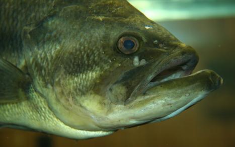 張嘴瞬間的超強吸力,鱸魚是怎麼辦到的? | 孵個小故事 | Scoop.it