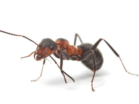 McGill scientists show how nature controls animal size by growing ants that are twice their normal dimensions   Genetic engineering and Human genetics, background reading and resources for IB   Scoop.it