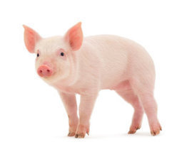 Human stem cells successfully transplanted, grown in pigs | Science technology and reaserch | Scoop.it