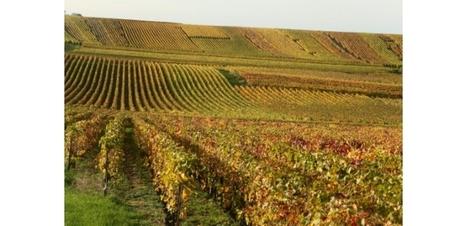 Face au #changement #climatique, la #Champagne invente les #cépages du #futur. #Reims | RSE et Développement Durable | Scoop.it