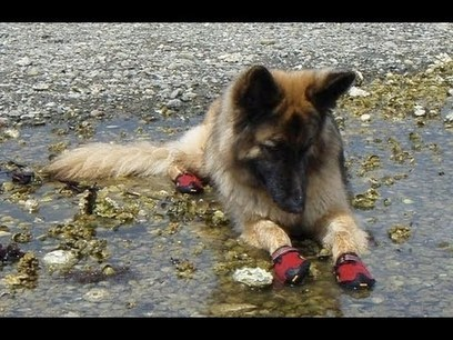 Dogs in Boots for First Time Compilation [HD] | Iloa elämään | Scoop.it