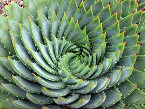 Aloe polyphylla, une plante rare en forme de spirale ! - Blog Alsagarden - Plantes rares, Jardins, Actualités... | Plantes Rares et Insolites | Scoop.it