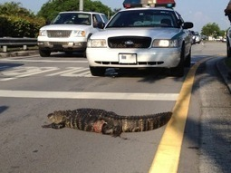 Only in Miami: Injured Gator Put Down After Snarling Traffic On Bird Road | The Billy Pulpit | Scoop.it