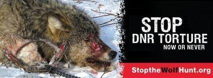 Minnesota Wolf Hunt Desecrates Ojibwe Creation Symbol | Hunting | Scoop.it