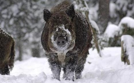 Fukushima: Des «cochons-sangliers» radioactifs menacent les habitations — 20minutes.fr | Japan Tsunami | Scoop.it