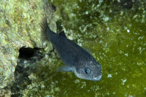 Just 35 Devils Hole #Pupfish Remain—Does #Extinction Loom? | Rescue our Ocean's & it's species from Man's Pollution! | Scoop.it