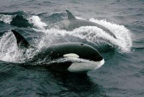 La justice américaine refuse aux orques le droit de porter plainte pour esclavage - La Dépêche | The Blog's Revue by OlivierSC | Scoop.it