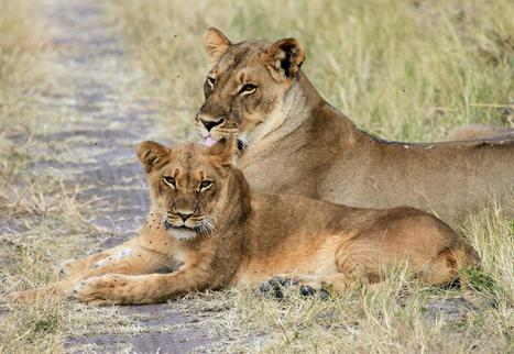 Cecil the lion's legacy: Hwange National Park one year on | Wildlife News | Scoop.it