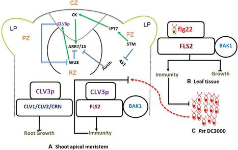 Frontiers | Stem-cell-triggered immunity safeguards cytokinin enriched plant shoot apexes from pathogen infection | Plant-Microbe Interaction | plant immunity | Scoop.it