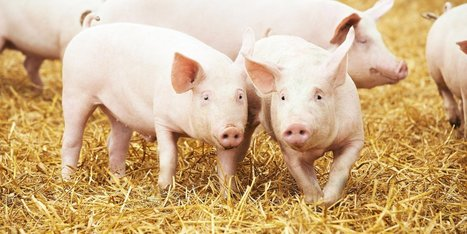 Can Growing Human Organs in Pigs Solve the Organ Shortage? | Longevity science | Scoop.it