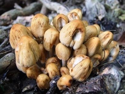Medi Mushrooms | Medicinal Mushrooms Strengthen Immune Defense | Healing Chronic Pain & Disease | Scoop.it