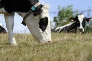 Brésil. Il meurt écrasé par une vache tombée du ciel | Mais n'importe quoi ! | Scoop.it