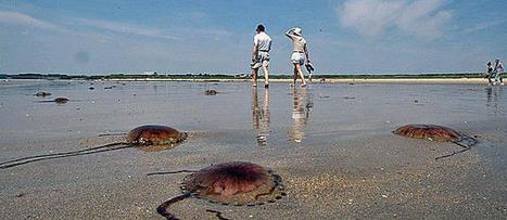 Alerte aux méduses sur la plage de Calais   méduses   Scoop.it