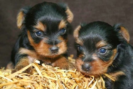 What You Had to Know When Taking a look at Yorkie Puppies Available | Florida Golden Retriever puppies for sale | Scoop.it