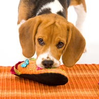 The 10 Naughtiest Dog Breeds | Breeds and Such | Scoop.it