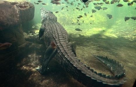 Australie: Une femme happée par un crocodile lors d'une baignade nocturne   Biodiversité   Scoop.it