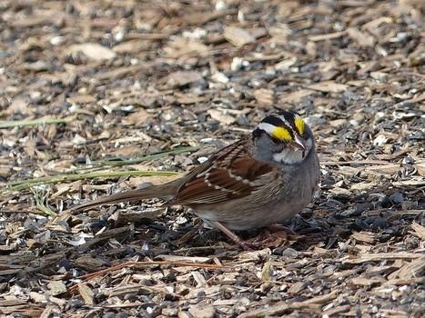 Photo d'oiseau : Bruant à gorge blanche - Zonotrichia albicollis - White-throated sparrow | Fauna Free Pics - Public Domain - Photos gratuites d'animaux | Scoop.it