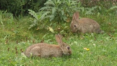 Fewer City Bunnies Due to Rabbit Hunting | Demetriusb8 | Scoop.it