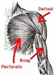 Shoulder Anatomy | Burlington Sport Therapy | Complementary therapies | Scoop.it