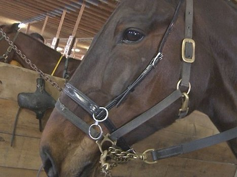 Horse Meat In Human Food Chain Causes HealthConcerns - CBS Boston   Animals R Us   Scoop.it