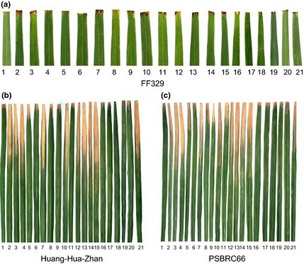 Xa39, a novel dominant gene conferring broad-spectrum resistance to Xanthomonas oryzae pv. oryzae in rice - | Plant-Microbe Interaction | Scoop.it