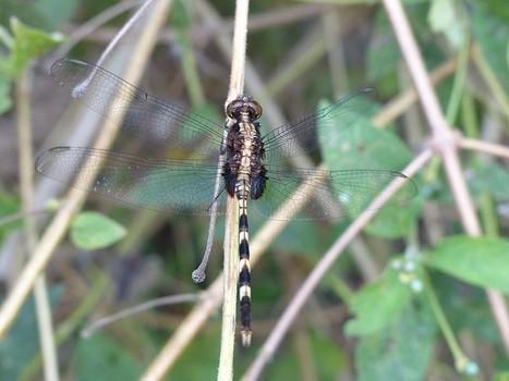 Photo d'Odonate : Libellule du Panama - Libellules - Odonates - Dragonfly - Dragonflies   Fauna Free Pics - Public Domain - Photos gratuites d'animaux   Scoop.it