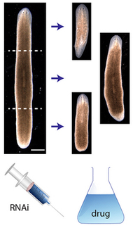 Planarian regeneration model discovered by AI algorithm | Longevity News | Scoop.it