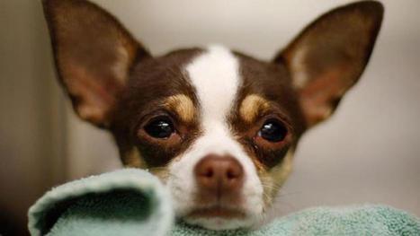 Small Chihuahuas Big Hit for El Paso Baseball | Troy West's Radio Show Prep | Scoop.it