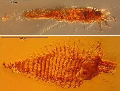 Trois petits insectes piégés dans des gouttes d'ambre | EntomoNews | Scoop.it