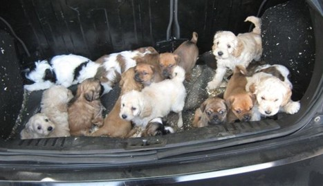 Dozens Of Puppies Found Huddled Together In Someone's Trunk | Nature Animals humankind | Scoop.it