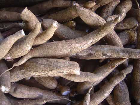 Common Cassava: An industrial crop to alleviate poverty | Sinica Geography 400 | Scoop.it