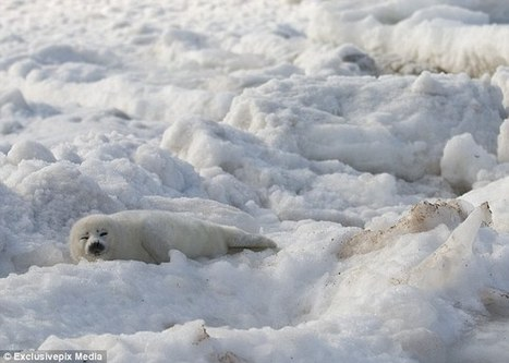 Return to Canada's killing fields: Government gives green light for almost HALF A MILLION seals to be killed for their fur in annual cull - and vast majority will be pups who die by a club or ice p... | Oceans and Wildlife | Scoop.it