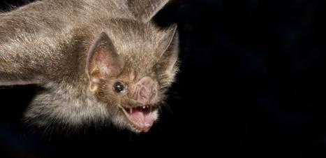 Chez les chauves-souris vampire, il est important d'avoir des amis | De Natura Rerum | Scoop.it