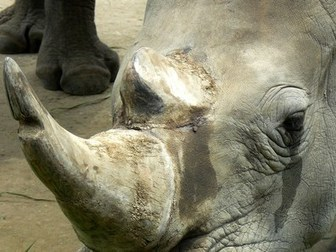 Should Wildlife Parts be Legally Traded? | Rhino poaching | Scoop.it