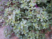 Savvy Natural Healer: Purslane, The Omega-3 Rich Salad Green | What Doctors Probably Won't Tell You About Diabetes | Scoop.it