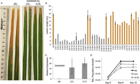 Overexpression of Rice Wall-Associated Kinase 25 (OsWAK25) Alters Resistance to Bacterial and Fungal Pathogens | Rice Blast | Scoop.it