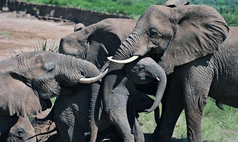 Fewer elephants killed in 2013, figures show   Animal rights   Scoop.it