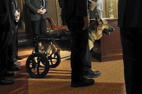 Roseville: K-9 officer Major is euthanized; dog survived stabbing in 2010 | Minnesota Pet News | Scoop.it
