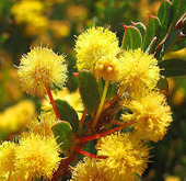 Esperance Wildflowers: Acacia camptoclada | Australian Plants on the Web | Scoop.it