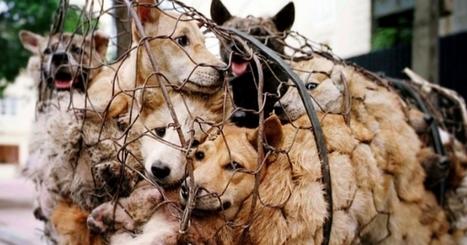 Festival de Yulin : 40  000 chiens seront encore massacrés et mangés cette année | Nature Animals humankind | Scoop.it