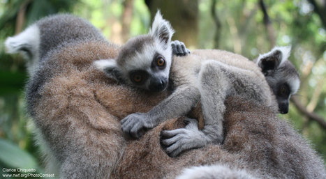 Lemurs: Big-eyed Wonders Threatened with Extinction | Mes passions natures | Scoop.it