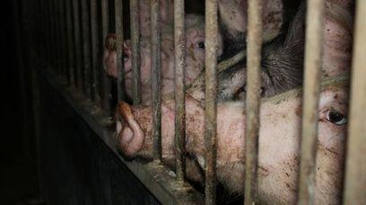 Sikatilalliset jäivät vaille korvauksia   Eläinten syömisestä   Scoop.it