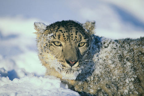 Holy Help: Buddhist Monks Shielding Snow Leopards From Poachers | Wildlife Trafficking: Who Does it? Allows it? | Scoop.it