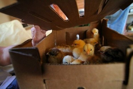 Boston Redevelopment Authority Hatching Plan to Let Chickens Fly in the City, Jumpstart Urban Farming | Vertical Farm - Food Factory | Scoop.it