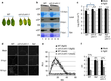 Nature Commun.: CRT1 is a nuclear-translocated MORC endonuclease that participates in multiple levels of plant immunity (2012) | Effectors and Plant Immunity | Scoop.it