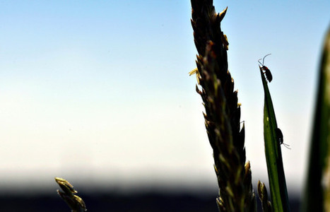 War on Cornfield Pest Sparks Clash Over Insecticide | Sustain Our Earth | Scoop.it