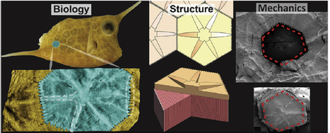 Boxfish Shell Inspires New Materials for Body Armor and Flexible Electronics | Biomimicry | Scoop.it