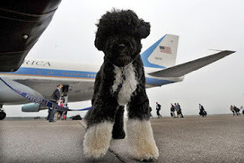 Poor Bo, Research Reveals That Racially Resentful White Folks Even Hate Barack Obama's Dog | AntiRacism & Privilege | Scoop.it