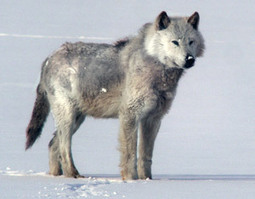 The Buffalo Wolves | NWT News | Scoop.it