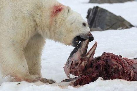 Observado por primera vez un oso polar comiéndose un delfín | Lo que no sabias | Scoop.it